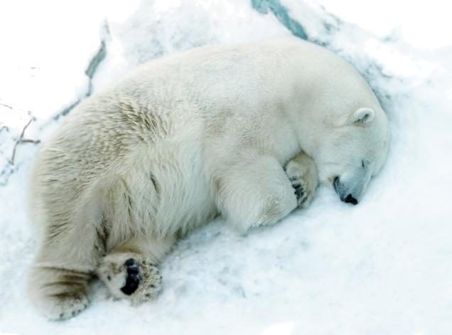 В Екатеринбурге умер медведь Умка
